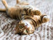Le razze di gatti che soffrono il caldo